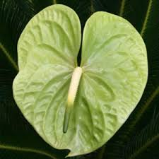 Wholesale Fresh Tropical Green Anthurium