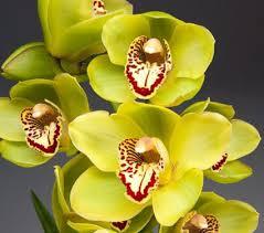 Wholesale fresh orchids Green Cymbidium