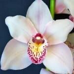 Wholesale fresh orchids white cymbidium