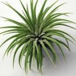 wholesale air plants