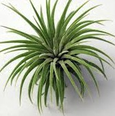 fresh wholesale airplants