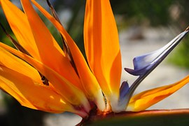fresh wholesale bird of paradise flowers