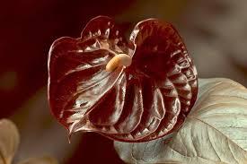 Burgandy wholesale anthurium