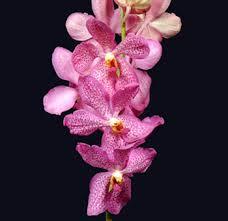 Wholesale fresh orchids Lavendar Mokara