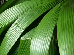 Fresh Wholesale Tropical Palm Leaves Foliage Miami