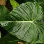 Fresh Wholesale Philo Leaves Foliage Miami