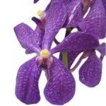 Wholesale fresh orchids Violet Mokara