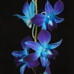 Wholesale fresh orchids Blue Dendrobium