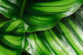 Fresh Wholesale Calathea Leaves Miami