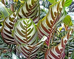 fresh wholesale calathea leaves Miami