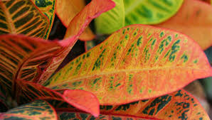 fresh croton leaves for floral arrangements