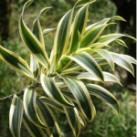 dracaena leaves for floral arrangements