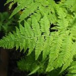 fresh wholesale fern leaves foliage Miami