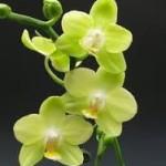 fresh wholesale phalaenopis green