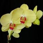 wholesale fresh orchids phalaenopsis