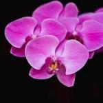 Wholesale fresh orchids Fuchsia Phalenopsis