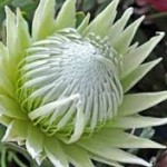 wholesale fresh king protea miami