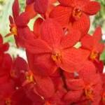 Wholesale fresh orchids Orange Mokara