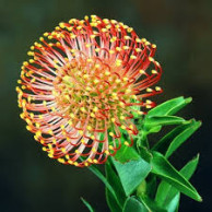 Wholesale Fresh Pink Cushion Protea Miami