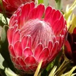 wholesale fresh Queen Protea Miami
