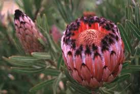 wholesale fresh safari protea miami