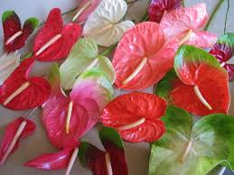 fresh wholesale anthuriums
