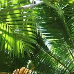 fresh wholesale segal plam leaves foliage Miami