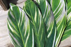 Fresh Wholesale Varigated Ti Leaves Foliage Miami