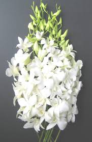 Wholesale fresh orchids White Dendrobium