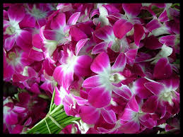 wholesale fresh dendrobiums Miami
