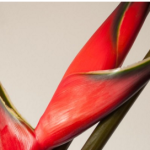 wholesale fresh Heliconia for floral arrangements