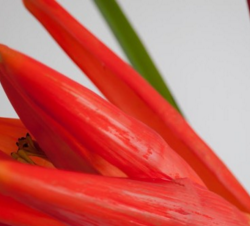 Fresh Heliconia Flowers Wholesale