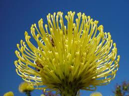 Wholesale Fresh Yellow Cushion Protea Miami