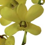 Wholesale fresh orchids Yellow Dendrobium